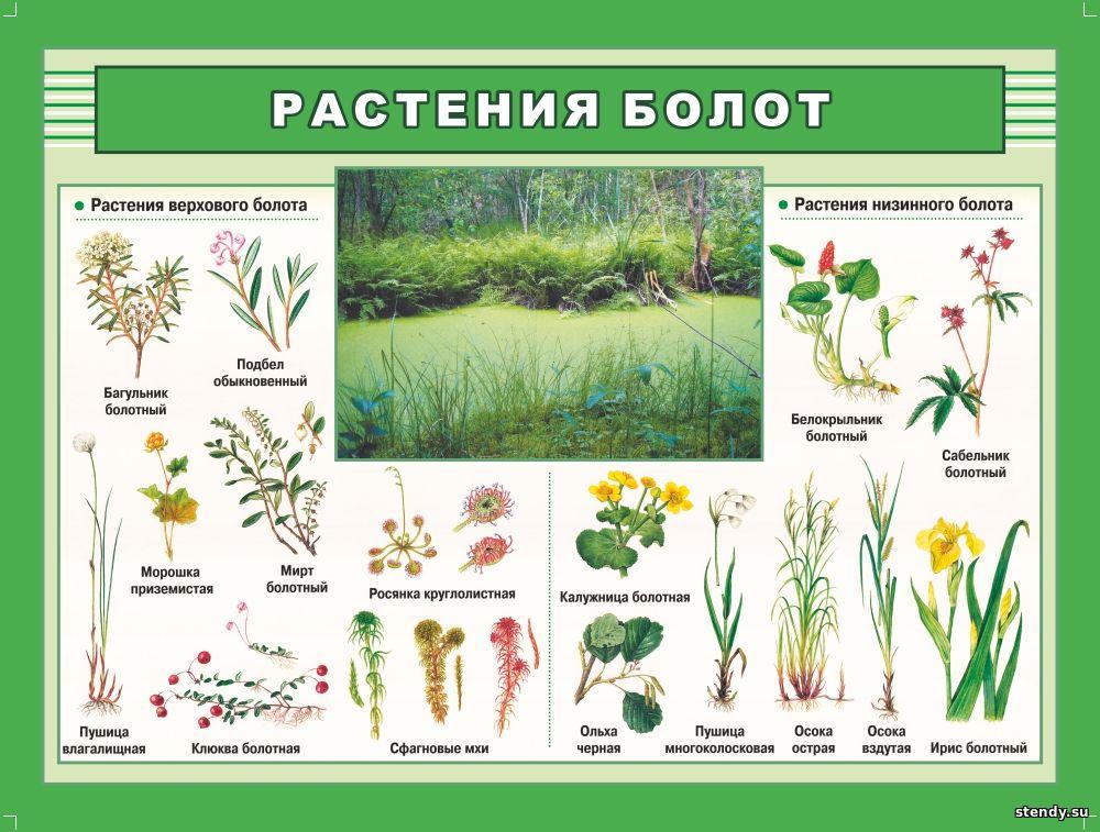 растения болот стенд, стенд по биологии, стенд в кабинет биологии, стенд в класс биологии, стенды для кабинетов школы