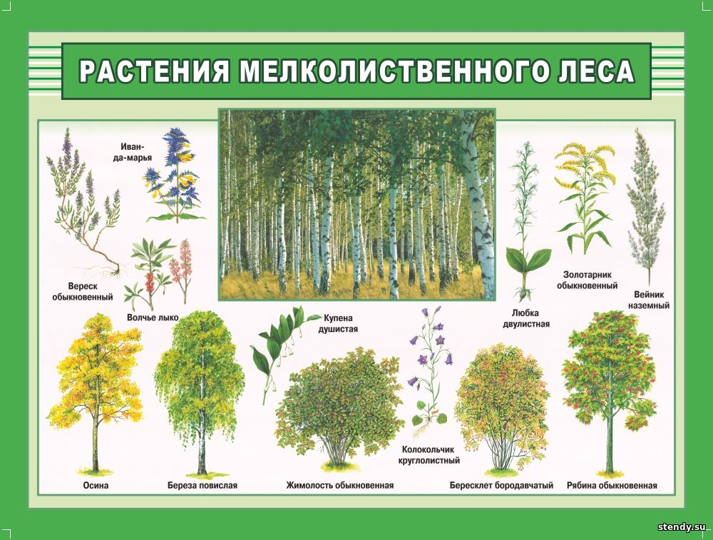 растения мелколиственного леса стенд, стенд по биологии, стенд в кабинет биологии, стенд в класс биологии, стенды для кабинетов школы