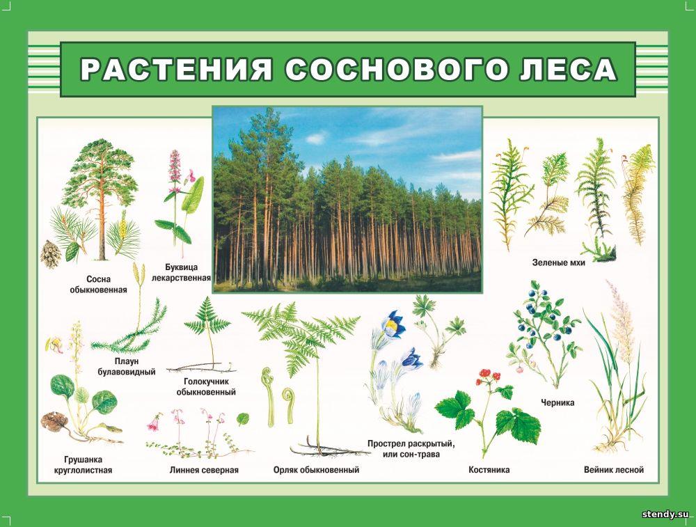 растения соснового леса, стенд по биологии, стенд в кабинет биологии, стенд в класс биологии, стенды для кабинетов школы